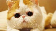 Ecco le razze di gatti ritenute, per le loro caratteristiche fisiche e psicologiche, tra le più popolari e belle del mondo.