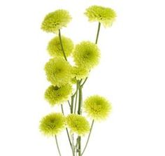 Insight on Flower Availability Cornish Wedding, Neon Flowers, Flower Names, Dandelion, Succulents, Buttons, Yellow, Floral, Plants