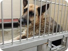 Pikeville, KY - German Shepherd Dog. Meet Summer, a dog for adoption. http://www.adoptapet.com/pet/11288756-pikeville-kentucky-german-shepherd-dog