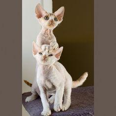 Two Devon Rex Kitties 3 by peter_hasselbom, via Flickr - i swear this man is the master of Devon pics!!