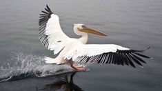 8 Types of Pelicans - Outside Types| celebrating the variety in nature Vector Design, Gray Streaks, Small Turtles, Plenty Of Fish, Wildlife, The Great White, Birds, Cichlids, Black Feathers
