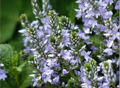 Rosacea, Veronica, Herbalism, Herbs, Tea, Health, Plants, Herbal Medicine, Health Care