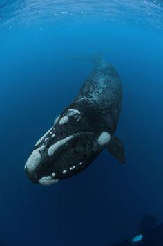 """""""The southern right whale is the region's best known whale. Every spring, from July, these gentle giants arrive from the sub-Antarctic to breed in the calm inshore waters of the Cape, some remaining until December before migrating southwards with their new calves. They can easily be observed from land at a few prime sites, including False Bay, Plettenburg Bay and Hermanus."""" www.bradtguides.com"""