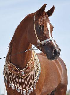 Arabian beauty  #horses