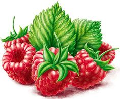 Berries by Roman Belichenko(Bottle Sketch Behance) Fruit Illustration, Food Illustrations, Botanical Illustration, Chibi Kawaii, Floral Printables, All Fruits, Fruit Painting, Decoupage Vintage, Polychromos