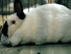 California Meat Rabbit