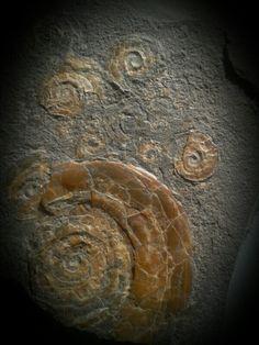 Caloceras ammonites