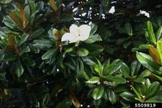 The Southern Magnolia - Magnolia grandiflora - is a medium sized evergreen tree. It is also called the Bull Bay, Big Laurel, Evergreen M. Evergreen Magnolia, Evergreen Trees, Air Layering, Street Trees, Growing Tree, Large Flowers, Southern, Meet, Landscape