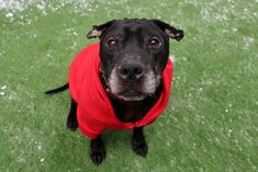 """GRISWALD - 15653 - - Manhattan  TO BE DESTROYED 12/20/17 – A volunteer writes: Your """"Christmas Vacation"""" is likely to go much smoother than our Griswald's namesake with this 7 year-old sweetheart by your side. And really, even if your holiday does take a turn into a flood of rambunctious family members, epic plumbing snafus, furry feline disasters, and one very burned down tree, I'm confident with this face gazing up at you all will still seem"""