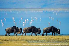 Wildebeest – Ngorongoro Crater