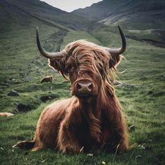 Scottish Highland Cow, Highland Cattle, Scottish Highlands, Cow Photos, Cow Pictures, Cow Pics, Farm Animals, Animals And Pets, Cute Animals