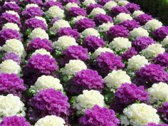 25 Best Ornamental Cabbage Kale For The Garden Images