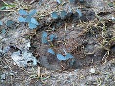 Little blue butterflies puddling in a horse's hoof print Blue Butterfly, Butterflies, Most Beautiful, Horses, Texture, Fun, Crafts, Surface Finish, Manualidades