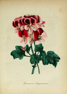Geranium from The American Flora