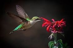 The key to the tiny flier& heart is through its stomach. Make your backyard a sugar-water hot spot with these top tips for attracting hummingbirds. Sugar Water For Hummingbirds, Flowers That Attract Hummingbirds, Attracting Hummingbirds, Bee Balm Plant, Hummingbird Plants, Humming Bird Feeders, Humming Birds, Sand And Water, Backyard Birds