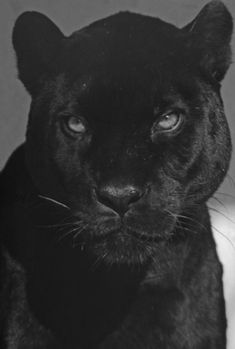 Black And White Picture Wall, Animals Black And White, Black And White Posters, Black And White Pictures, Black Aesthetic Wallpaper, Black And White Aesthetic, Animals Beautiful, Cute Animals, Tiger Wallpaper