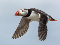 Puffin well wouldn't you after all that flying