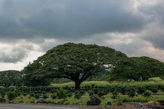 Monkeypod tree has an umbrella like large  canopy