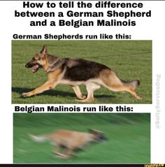 How to tell the difference between a German Shepherd and a Belgian Malinois German She - herds run like this: - iFunny :) Military Working Dogs, Military Dogs, Police Dogs, German Shepherd Dogs, Australian Shepherd, Belgian Shepherd Puppies, Belgian Malinois Puppies, German Malinois, Belgium Malinois