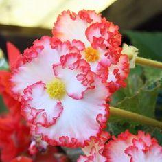 Begonia crispo marginata white/red
