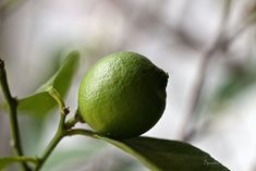 When life gives you limes, make Lime~a~Cello II