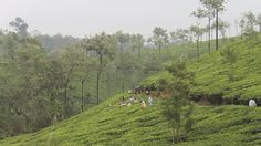 Tea fields in #Kerala #India