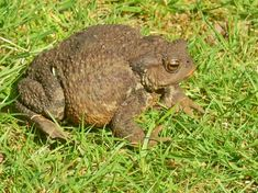 The toad who found his way into our garden, more photos on my blog. #toad