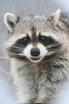 Raccoon                                                                                                                                                                                 More