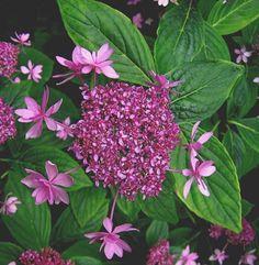 """Hydrangea macrophylla """"Izu no hana'."""