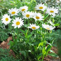 Perennials White Shasta Daisy Becky, Leucanthemum superbum - Becky gives you classic white daisies with wider petals and brilliant centers. Perennial plant of the year in (Leucanthemum superbum) Growing Flowers, Planting Flowers, Flowering Plants, Shasta Daisies, American Meadows, Spring Plants, Flowers Perennials, Spring Perennials, White Gardens