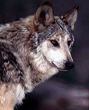 Canis Lupus Baileyi: Mexican Gray Wolf