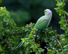 A little rose-ringed parakeet by Akshay Charegaonkar on 500px