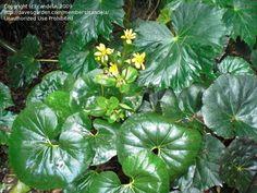 PlantFiles Pictures: Farfugium, Giant Leopard Plant 'Gigantea' (Farfugium japonicum) by Micmalta Leopard Plant, Tractor Seats, Famous Daves, Seeds, Garden, Plants, Pictures, Google Search, Photos