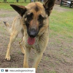 #Repost @rescuedogsrocknyc with @repostapp.  Meet Auriello (aka Tiger) a stunning 3 year old gsd w a badly injured front paw. We were asked to take him as a local vet wanted to amputate the leg. We vowed to take him & see if anything could be done to save his leg. Of course we won't know if it can be saved or not until we get X-rays & he sees our orthopedic surgeon.  He's heading to NYC Sat. & we can't wait to meet him! Auriello was rescued from life on a chain & is very underweight at…