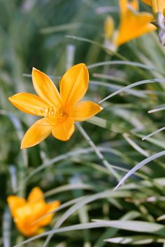 Taglilien - Pflege, Standort, vermehren Daylilies are robust and easy-care perennials. Each bloom bl Winter Plants, Winter Garden, Day Lilies Care, Hardy Plants, Garden Care, Plantation, Flower Decorations, Perennials, Bloom