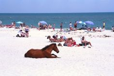 Chincoteague Island; I went here many times as a child. How cool is it to go to the beach and sun tan with a horse! Sea gulls are no problem here...there has been times when the ponies show up while you're having your beach picnic!
