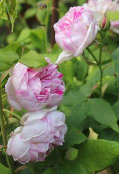 "Rose: ""Honorine de Brabant"""