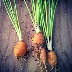 Y ahora es el turno de las #zanahorias #urbanfarming #carrots #agriculturaurbanaaguascalientes #huertourbano #siembra #conejofeliz http://ift.tt/28K3wIz