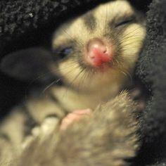 Sugar Glider..and I will name him Stewie!