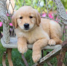 🌸💜 #Spunky and sweet!! #GoldenRetriever pups are gentle and love to play. They are merry companions and very intelligent. ▬▬▬▬▬▬▬▬▬▬▬▬▬▬▬▬▬▬▬ #Charming #PinterestPuppies #PuppiesOfPinterest #Puppy #Puppies #Pups #Pup #Funloving #Sweet #PuppyLove #Cute #Cuddly #Adorable #ForTheLoveOfADog #MansBestFriend #Animals #Dog #Pet #Pets #ChildrenFriendly #PuppyandChildren #ChildandPuppy #BuckeyePuppies www.BuckeyePuppies.com