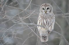 The barred owl is a large typical owl native to North America. Best known as the hoot owl for its distinctive call, it goes by many other names, including eight hooter, rain owl, wood owl, and striped owl.