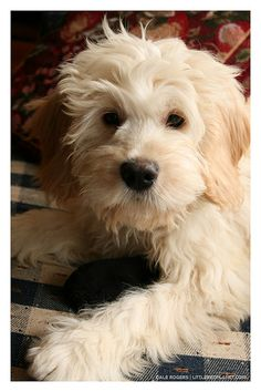 As soon as I find myself with a yard and a less flippant schedule, I'm getting myself a bundle of love in the form of a groodle or labradoodle! I will love him and he will love me. :)