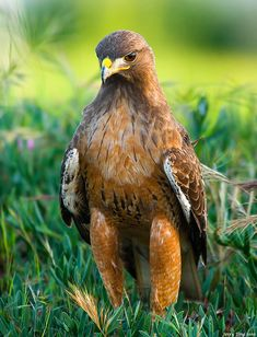 Red-tailed hawk by Jerry Ting.