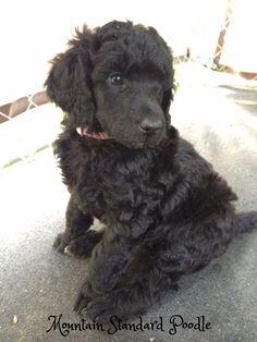 15 Top Deardra images | Poodle puppies for sale, Standard poodles