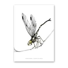Illustration art Dragonfly  Line Eskestad www.aspegren.dk