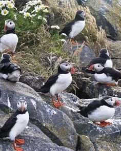 ATLANTIC PUFFINS AT DYRHOLAEY, ICELAND – Pure Iceland offers easy photography and wildlife viewing from the land!  Travel holds the magic of wish fulfillment.  Get travel tips on visiting Iceland, a dream destination! http://www.examiner.com/article/iceland-is-a-top-dream-destination
