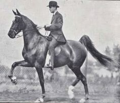 American Saddlebred mare Glorious Star was a daughter of CH King's Genius and dam of CH Socko.