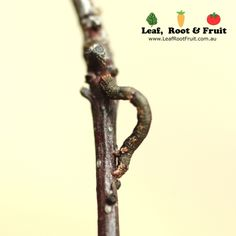 Caterpillars: Search and Destroy - Leaf, Root & Fruit Gardening Services Hawthorn