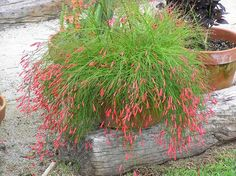 Russelia equisetiformis (Firecracker Plant, Coral Plant, Coralblow, Fountain Plant) - Your Garden Party Russelia Equisetiformis, Horticulture, Container Gardening, Gardening Tips, Home Garden Plants, Hanging Baskets, Evergreen, Shrubs, Garden Landscaping