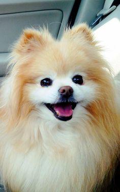 Cute Boo Pomeranian iPhone 6 Plus HD Wallpaper